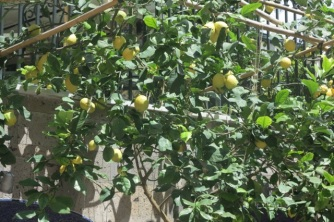1.1464891315.sorrento---lemons
